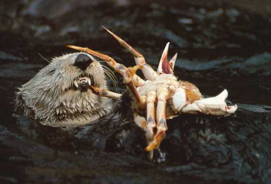 rat eating a crustacean