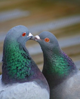 Beautiful-Pigeon-Photos-10