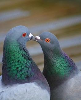 Beautiful-Pigeon-Photos-10