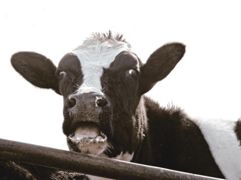 surprised cow