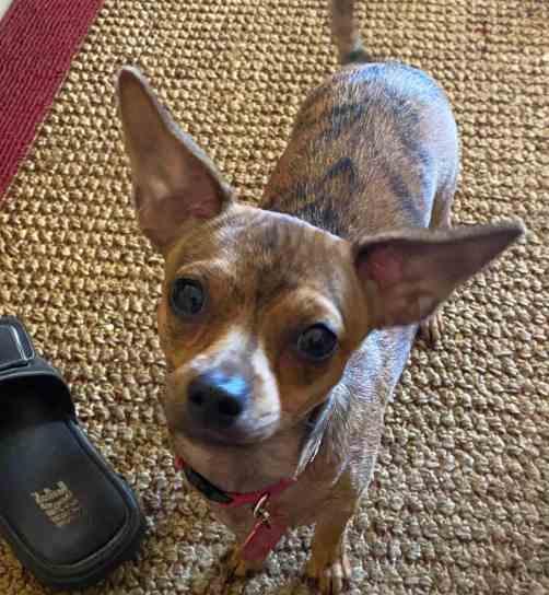 carol-chiuahua-ears